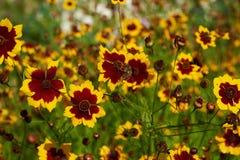 Rudbeckia Цветки, бутоны и коробки семян Предпосылка, текстура Стоковое Фото