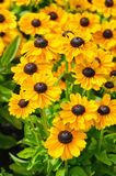 Rudbeckia Royalty Free Stock Image