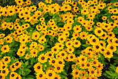 Rudbeckia Royalty Free Stock Photos