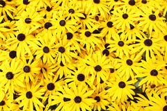 Rudbeckia. Yellow daisies (Rudbeckia) close-up Royalty Free Stock Photo