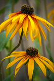 Rudbeckia Royalty Free Stock Images