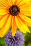 Rudbeckia Royaltyfria Bilder