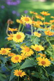 Rudbeckia Photo stock