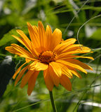 Rudbeckia. One orange rudbeckia in the garden Stock Image