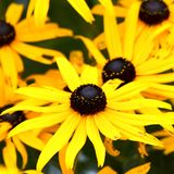 Rudbeckia also known as the Black Eyed Susan royalty free stock image