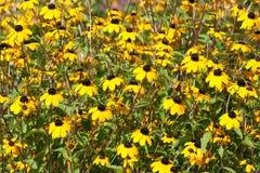 Rudbeckia amarelo Fotos de Stock