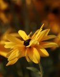 Rudbeckia amarelo Fotografia de Stock