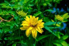 rudbeckia Amarelo-vermelho da flor Fotografia de Stock