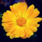 Rudbeckia amarillo Foto de archivo libre de regalías