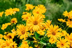 Rudbeckia amarillo Coneflower y girasoles de Negro-Observar-Susan en la floración en los rayos calientes de Sun del verano imagen de archivo libre de regalías