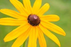 Rudbeckia amarillo de la flor Foto de archivo libre de regalías