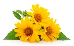 Rudbeckia amarillo de la flor, mini girasol fotografía de archivo libre de regalías