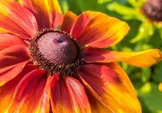 Rudbeckia`-Autumn Colors ` i solskenet Arkivbilder
