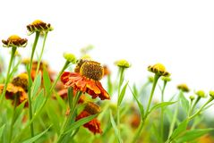 Helenium Royalty Free Stock Image