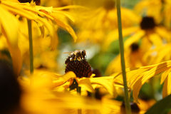 Rudbeckia bee Royalty Free Stock Photography