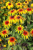 Rudbeckia bicolor. Rudbeckia are cultivated in gardens for their showy yellow or gold flower heads Stock Photography