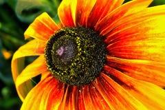 Rudbeckia bicolore Images stock