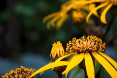 Rudbeckia black eyed Susan on fall royalty free stock photography