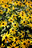 Rudbeckia -  black-eyed-susans Royalty Free Stock Photography