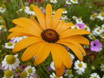 Rudbeckia bland en wildlfloweräng Royaltyfria Foton
