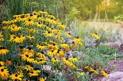 Rudbeckia blommar den gemensamt kallade coneflowers och svart-syna-susen arkivbild