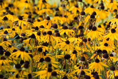 Rudbeckia bloom Stock Photo