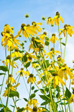 Rudbeckia Stock Photography