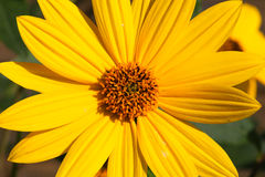 Rudbeckia bright yellow flower on green background Royalty Free Stock Images