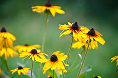 Rudbeckia brilliant flowers. Beautiful Rudbeckia brilliant yellow flowers Royalty Free Stock Photography