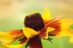 Rudbeckia Stock Photos