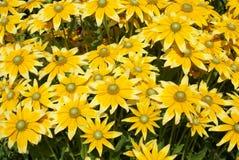 Rudbeckia. coneflowers. black-eyed-susans Royalty Free Stock Images