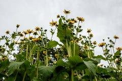 Rudbeckia Cutleaf Coneflower lacinata, das im Garten, sonnig blüht Lizenzfreies Stockbild