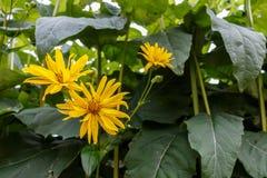 Rudbeckia Cutleaf Coneflower lacinata, das im Garten, sonnig blüht Lizenzfreies Stockfoto