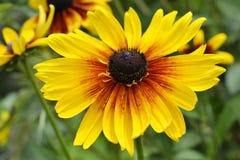 Rudbeckia da flor Foto de Stock