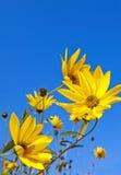Rudbeckia - dalingsbloemen Royalty-vrije Stock Foto