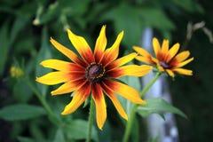 Rudbeckia dans le jardin Photo stock