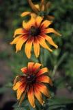 Rudbeckia dans le jardin Photographie stock