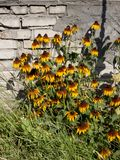 Rudbeckia de Bush en fondo de la pared de ladrillo fotos de archivo