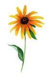 Rudbeckia de la acuarela, margarita anaranjada ilustración del vector