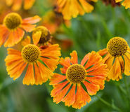 Rudbeckia de olhos pretos Hirta da flor de Susan Summer da imagem macro imagens de stock