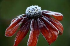 Rudbeckia en gelée photos stock