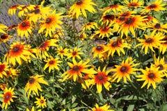 rudbeckia eyed чернотой цветка susan Стоковая Фотография