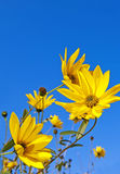 Rudbeckia  - fall flowers Royalty Free Stock Photo