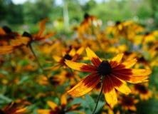 Rudbeckia floreciente o una bola de fuego en el jardín de la ciudad fotos de archivo