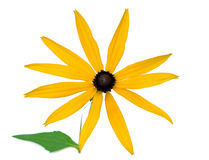 Rudbeckia flower Stock Photos