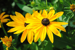Rudbeckia flower Royalty Free Stock Image