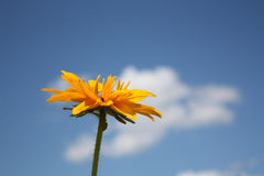 Rudbeckia flower on blue sky background. Royalty Free Stock Image