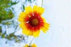 Rudbeckia flower in garden Stock Images