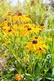Rudbeckia flower in garden. Yellow flowers of rudbeckia - closeup view. Stock Photos