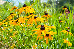 Rudbeckia flower in garden. Yellow flowers of rudbeckia - closeup view. Royalty Free Stock Images